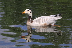 Bar-headed goose Royalty Free Stock Photo