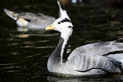 Bar Headed Goose Royalty Free Stock Photos