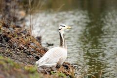 Bar-headed goose royalty free stock photography