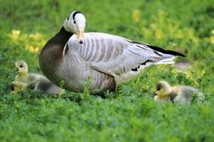 Bar-headed goose. The adult bar-headed goose with tree chicks in the grass Stock Photos