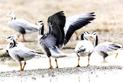 Bar headed goose Royalty Free Stock Image