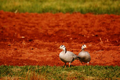 Bar-headed Goose Royalty Free Stock Images