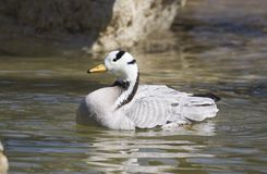 Bar-headed Goose. A bar-headed goose in a pond Stock Photos