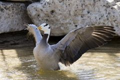 Bar-headed Goose. A bar-headed goose with it's wings open stock photography