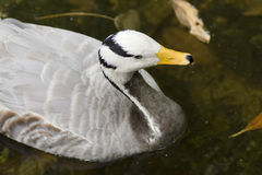Bar-headed goose (Anser Indicus) Royalty Free Stock Image