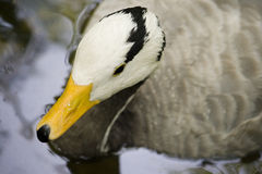 Bar-headed goose (Anser Indicus) Stock Image