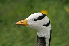 Bar-headed Goose, Anser indicus Royalty Free Stock Images
