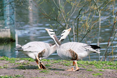 Bar-headed goose (Anser indicus) Royalty Free Stock Photo