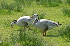 The Bar-headed Goose (Anser indicus) Royalty Free Stock Photos