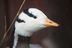 Bar-headed goose Anser indicus. Stock Images