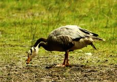 The bar-headed goose Anser indicus grazing stock image