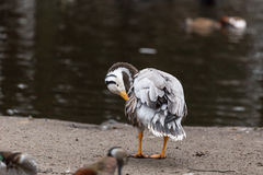 Bar-headed goose Anser indicus cleaning feathers Stock Photos