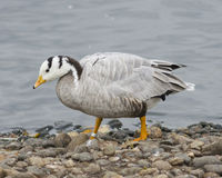 Bar-headed Goose, Anser indicus, close-up portrait on stone shore of pond, selective focus, shallow DOF Stock Images
