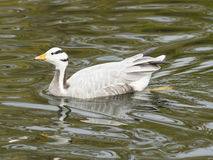 Bar-headed Goose, Anser indicus, close-up portrait in water of pond, selective focus, shallow DOF Royalty Free Stock Photography