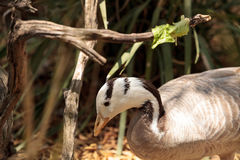 Bar-headed goose Anser indicus Royalty Free Stock Photo