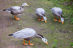 The Bar-headed Goose (Anser indicus) Stock Image