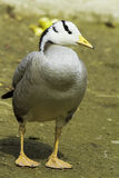 Bar-headed goose (Anser indicus) Royalty Free Stock Photos
