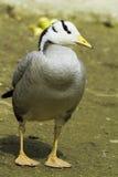 Bar-headed goose (Anser indicus) Royalty Free Stock Photos