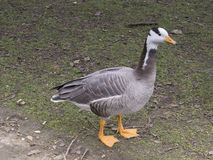 Bar-headed Goose, Anser indicus, on the ground Stock Images