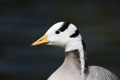Bar-headed goose, Anser indicus Royalty Free Stock Photography