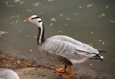 Bar-headed goose(Anser indicus) Stock Photo