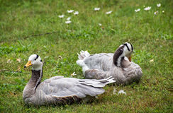The Bar-headed goose (Anser indicus) Royalty Free Stock Photography