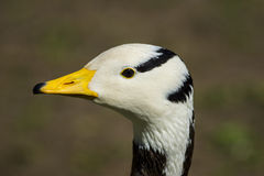 Bar-headed goose / Anser indicus Stock Photography