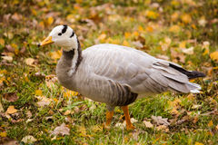 Bar-headed goose (Anser indicus) Stock Images