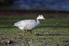 Bar-headed goose, Anser indicus Stock Photo