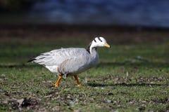 Bar-headed goose, Anser indicus Stock Photo