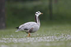 Bar-headed goose, Anser indicus Stock Image