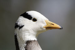 Bar-headed goose, Anser indicus Royalty Free Stock Photo