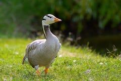 Free Bar-headed Goose, Anser Indicus, Single Bird On The Grass Royalty Free Stock Photo - 153282625