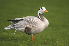 Bar-headed Goose Royalty Free Stock Image