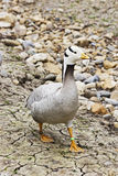 Bar headed goose, Anser indicus walking Stock Photo