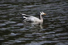 Bar-headed goose (Anser indicus). Royalty Free Stock Images