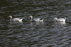Bar-headed goose (Anser indicus). Stock Image