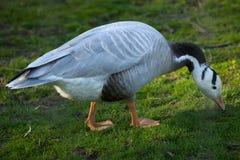 Bar-headed goose (Anser indicus). Stock Photos