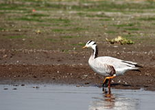 Bar Headed Goose Royalty Free Stock Photo