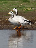 Bar Headed Goose. Bird Sanctuary India- Photo taken in shallow water body at Bhigwan Stock Photo