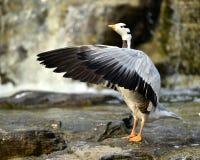 Bar-headed Goose Stock Image