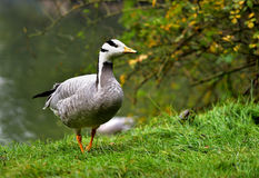 Bar-headed Goose Stock Images