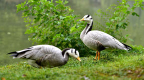 Bar-headed Goose Stock Image