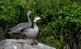 Bar-headed Goose Royalty Free Stock Photos