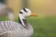 Bar-headed Goose Stock Photography
