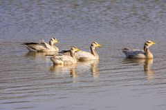 Bar-headed goose. Sariska Tiger Reserve, India. The  Anser indicus is a goose that breeds in Central Asia in colonies of thousands near mountain lakes and Royalty Free Stock Image