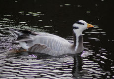 Bar-headed goose swimming royalty free stock images