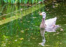 Bar headed goose swimming in a pond, tropical water bird from Asia and India. A bar headed goose swimming in a pond, tropical water bird from Asia and India royalty free stock photos