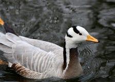 Bar-headed goose Royalty Free Stock Photo