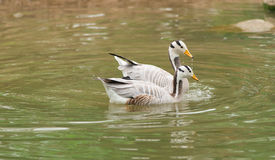 Bar-headed goose. Two bar-headed gooses are swimming stock photos
